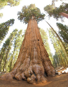 640px-General_Sherman_tree_looking_up
